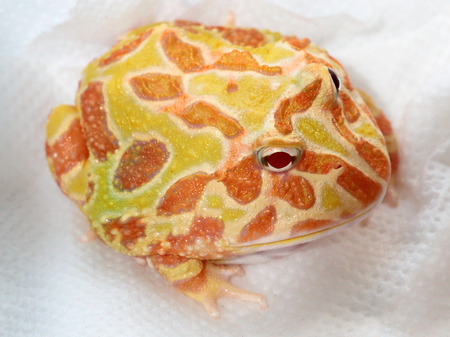 pacman: Ornate horned frog, Ceratophrys ornata, also known as pacman frog. Captive animal on blotting paper Stock Photo