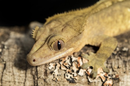 crested gecko: Closeup of a new Caledonian crested gecko, Rhacodactylus ciliatus, on a branch Stock Photo