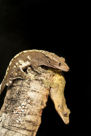 crested gecko: Couple of new Caledonian crested gecko, Rhacodactylus ciliatus, on a tree trunk. Vertical image.
