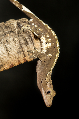 Male new Caledonian crested gecko, Rhacodactylus ciliatus, hanging upside down in a tree trunk