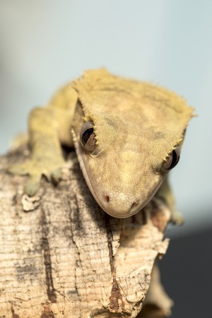 crested gecko: Closeup of the muzzle of a new Caledonian crested gecko, Rhacodactylus ciliatus, on a branch