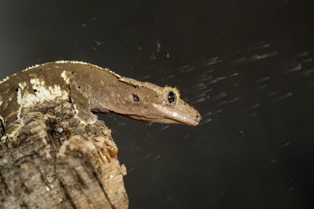 crested gecko: New Caledonian crested gecko, Rhacodactylus ciliatus, invested by a shower of water Stock Photo