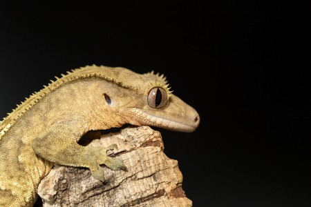 crested gecko: Lateral view of a new Caledonian crested gecko, Rhacodactylus ciliatus, on a branch Stock Photo