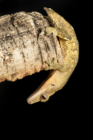 crested gecko: New Caledonian crested gecko, Rhacodactylus ciliatus, hanging upside down in a tree trunk