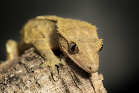 crested gecko: New Caledonian crested gecko, Rhacodactylus ciliatus, on a branch