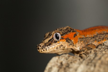 gargouille: T�te d'un ray� rouge nouvelle Caledonian gecko cahoteuse, Rhacodactylus auriculatus, connu sous le nom gecko gargouille