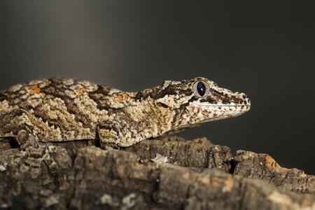 gargouille: Lateral view of a reticulated new Caledonian bumpy gecko, Rhacodactylus auriculatus, known as gargoyle gecko