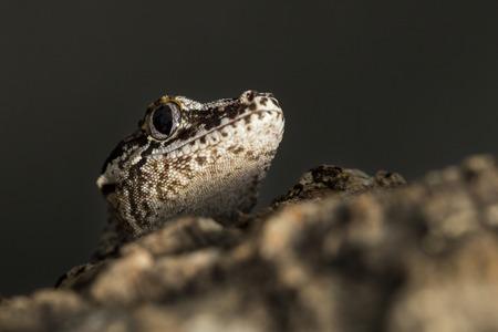 gargouille: Chef d'un nouveau gecko cahoteuse Caledonian réticulaire, Rhacodactylus auriculatus, connu sous le nom gecko gargouille