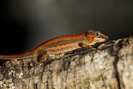 gargouille: Lateral view of a red striped new Caledonian bumpy gecko, Rhacodactylus auriculatus, known as gargoyle gecko