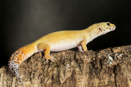 gecko: Lateral view of a leopard gecko, Eublepharis macularius, on a branch against a dark background. Their tail is used to store excess fat to supply to periods of scarce food