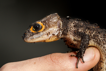 red eyed: Red eyed crocodile skink, Tribolonotus gracilis, on the finger of a man Stock Photo