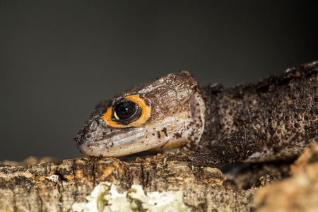 red eyed: Lateral view of the head of a red eyed crocodile skink, Tribolonotus gracilis