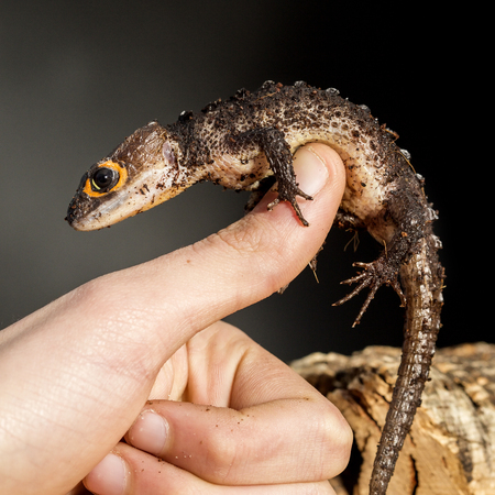red eyed: Red eyed crocodile skink, Tribolonotus gracilis, climbing the finger of a man