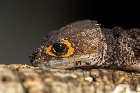 red eyed: Closeup of the head of a red eyed crocodile skink, Tribolonotus gracilis