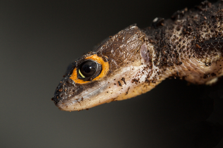 red eyed: Detail of the head of a red eyed crocodile skink, Tribolonotus gracilis