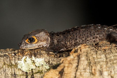 red eyed: Lateral view of a red eyed crocodile skink, Tribolonotus gracilis, on a branch