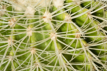 with spines: Details of the sharp curved spines of an Echinocactus grusonii cactus. Stock Photo