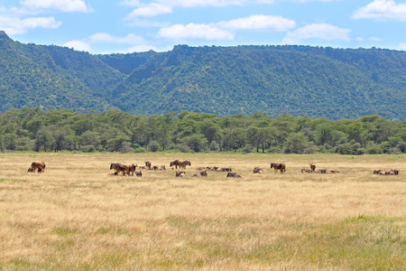 taurinus: A herd of blue wildebeests, Connochaetes taurinus, near the rim of the Ngorongoro Conservation Area, Tanzania