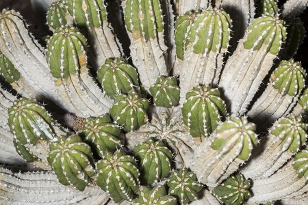 shurb: Details of a Euphorbia officinarum succulent plant. This african cactus can grow up to 1.5 m and even in good soil conditions and climate. Stock Photo