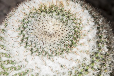 with spines: Macro view of the small circular spines of a Mammillaria formosa cactus Stock Photo