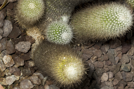 golden ball: View of a group of Notocactus leninghausii or Parodia leninghausii, a succulent plants known as Lemon Ball, Golden Ball and Yellow Tower cactus