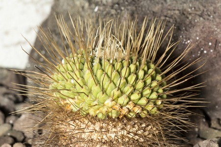 protected plant: A spiked cactus with very long thorns