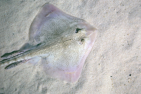 clavata: A thornback ray, Raja clavata, also known as thornback skate, lying on the seabed