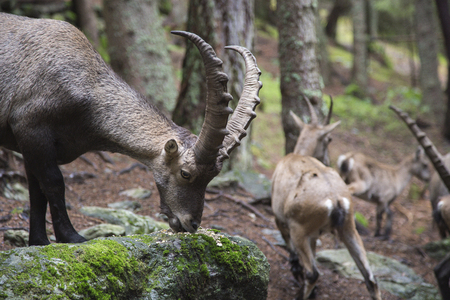 underbrush: Male alpine ibex, Capra ibex, grazing moss from a rock Stock Photo
