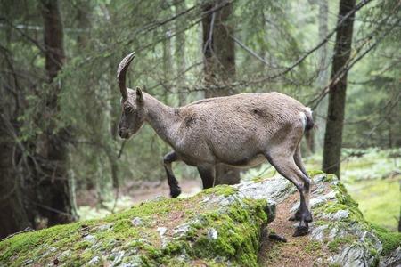 capra: Female alpine ibex, Capra ibex, walking over a rock in a wood Stock Photo