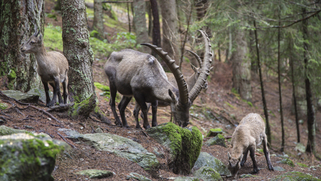underbrush: Male alpine ibex, Capra ibex, eating moss from a stone
