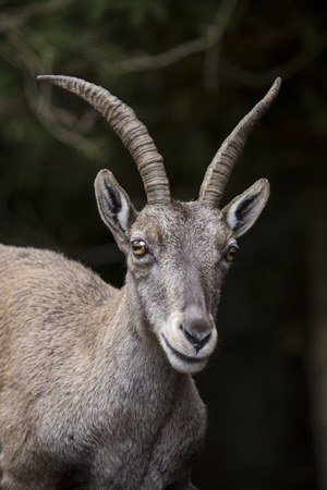 wild goat: Portrait of a young alpine ibex, Capra ibex. This wild goat is also known as steinbock Stock Photo