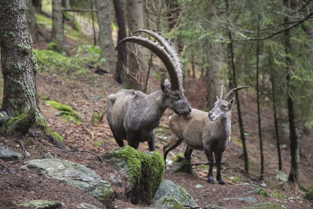 underbrush: Couple of alpine ibex, Capra ibex, with a huge male and a female Stock Photo
