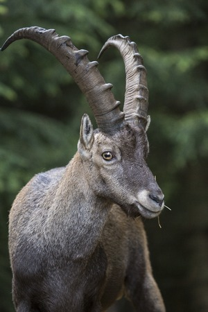 capra: Portrait of a male alpine ibex, Capra ibex. This wild goat is also known as bouquetin Stock Photo