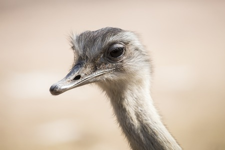 struthio camelus: Portrait of a common ostrich, Struthio camelus. Ostrichs are native to Africa and they are the largest flightless bird Stock Photo