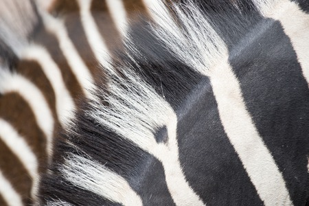 adult kenya: Closeup of manes of two common zebras, Equus Quagga. Stripes of young zebras are brown instead of black Stock Photo