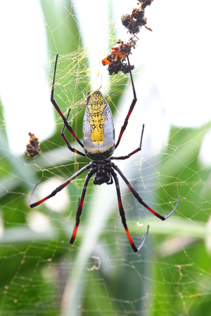 wood spider: Female giant wood spider, Nephila madagascariensis, on the web waiting for a prey