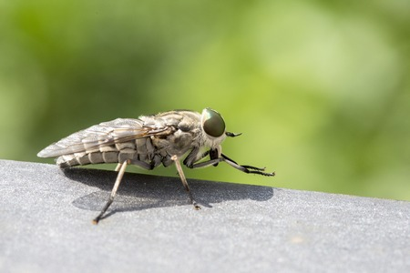 cleg: Macro view of a horsefly. These insects are often large and agile in flight, and the females bite animals, including humans, to obtain blood
