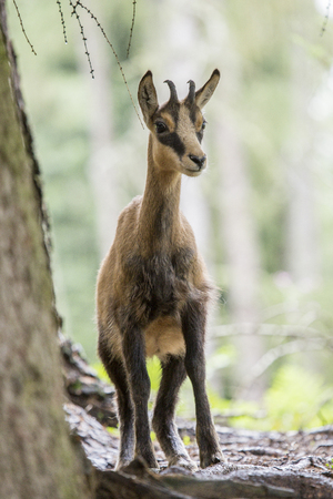 spp: A chamois, Rupicapra spp, standing in a wood