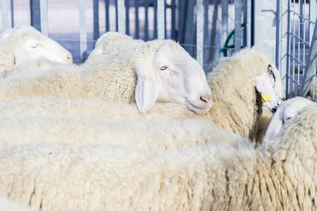 carding: Flock of domestic sheeps, Ovis Aries, in the sheepfold Stock Photo