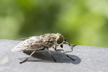 gad: Macro view of a horsefly. These insects are found all over the world except for some islands and the polar regions.