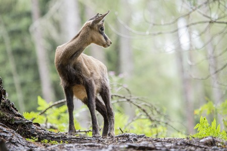 looking around: A chamois, Rupicapra spp, standing in a wood looking around