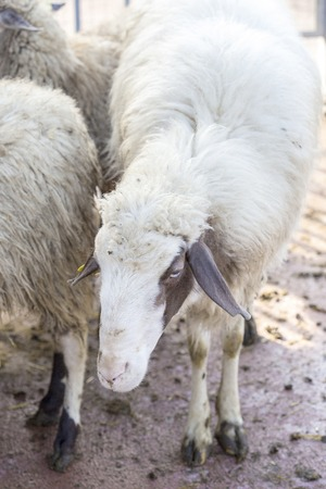 carding: Closeup of a domestic sheep, Ovis aries, standing near the flock Stock Photo