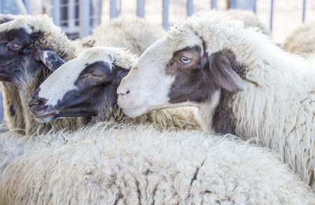 sheepfold: Portrait of a domestic sheep, Ovis aries, standing in the flock Stock Photo