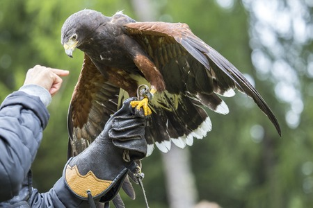 gloved: A Harriss hawk, Parabuteo unicinctus, perched on the gloved arm of a falconer