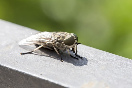 cleg: Macro view of a horsefly. Females females bite animals to obtain enough protein from blood to produce eggs