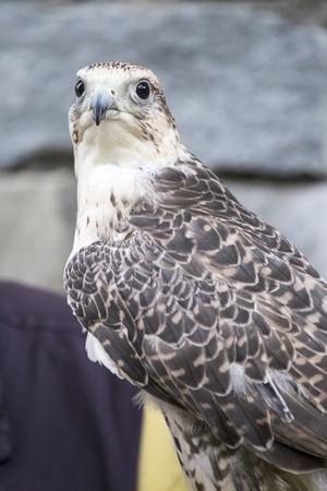 a large bird of prey: A saker falcon, Falco cherrug, looking at camera. This species breeds from eastern Europe eastwards across Asia to Manchuria Stock Photo