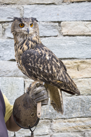 domesticated: Eurasian eagle-owl, Bubo bubo, perched on the hand of a falconer. Although not popular as the Indian owl, this bird the be domesticated for the falconry