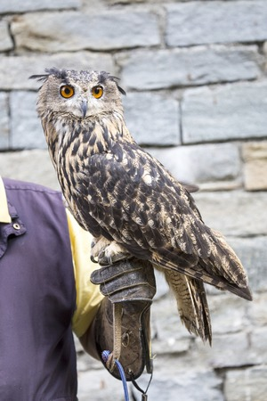 nocturnal: Falconer with an eurasian eagle-owl, Bubo bubo, perched on the hand. It is a mostly nocturnal predator, hunting for a range of different prey species Stock Photo