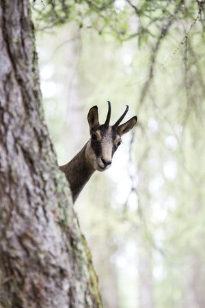 spp: A chamois, Rupicapra spp, partially hidden behind the trunk of a tree
