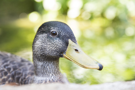 Closeup view of the head of a mallard, Anas platyrhynchos, with its typical yellow beak